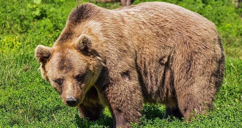 Nino cuidado por oso
