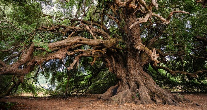 7 recomendaciones para cuidar un olivo en casa